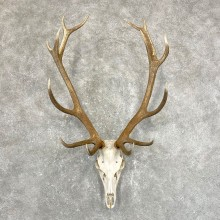 Red Deer Stag Skull European Mount For Sale #24248 @ The Taxidermy Store
