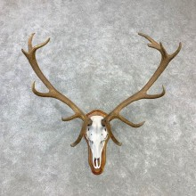 Red Deer Stag Skull European Plaque Mount For Sale #23098 @ The Taxidermy Store