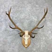 Red Deer Stag Skull European Plaque Mount For Sale #23101 @ The Taxidermy Store