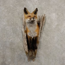 Red Fox Half Life-Size Mount For Sale #20540 @ The Taxidermy Store