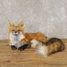 Red Fox Life-Size Mount For Sale #22598 @ The Taxidermy Store