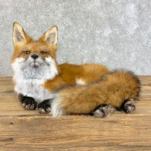Red Fox Life-Size Mount For Sale #22825 @ The Taxidermy Store