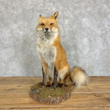 Red Fox Life-Size Mount For Sale #22828 @ The Taxidermy Store