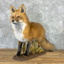 Red Fox Life-Size Mount For Sale #23017 @ The Taxidermy Store