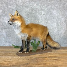 Red Fox Life-Size Mount For Sale #23018 @ The Taxidermy Store