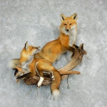 Pair Red Fox Life Size Mount #17920 For Sale @ The Taxidermy Store