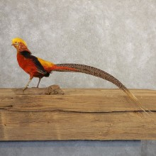 Red Golden Pheasant Bird Mount For Sale #20775 @ The Taxidermy Store