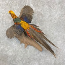 Red Golden Pheasant Taxidermy Bird Mount For Sale