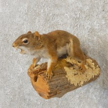 Red Squirrel Life-Size Mount For Sale #21165 @ The Taxidermy Store