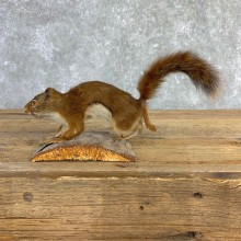 Red Squirrel Life-Size Mount For Sale #21849 @ The Taxidermy Store
