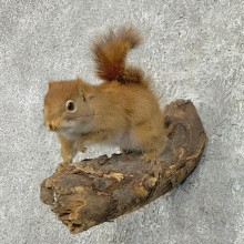 Red Squirrel Life-Size Mount For Sale #22293 @ The Taxidermy Store