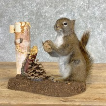 Red Squirrel Life-Size Mount For Sale #22448 @ The Taxidermy Store