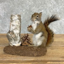 Red Squirrel Life-Size Mount For Sale #22451 @ The Taxidermy Store