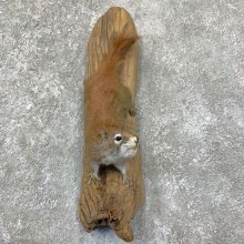 Red Squirrel Life-Size Mount For Sale #22954 @ The Taxidermy Store