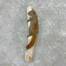 Red Squirrel Life-Size Mount For Sale #23410 @ The Taxidermy Store