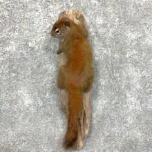 Red Squirrel Life-Size Mount For Sale #23581 @ The Taxidermy Store