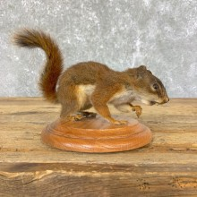 Red Squirrel Life-Size Mount For Sale #23915 @ The Taxidermy Store