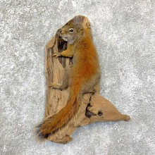 Red Squirrel Life-Size Taxidermy Mount For Sale #22952 @ The Taxidermy Store