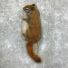 Red Squirrel Life-Size Taxidermy Mount For Sale #23579 @ The Taxidermy Store