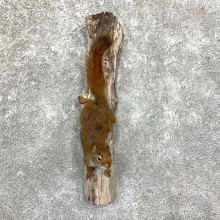 Red Squirrel Life-Size Taxidermy Mount For Sale #23582 @ The Taxidermy Store