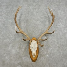 Red Deer Stag Skull European Mount For Sale #17362 @ The Taxidermy Store