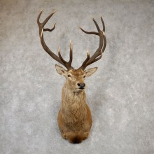 Red Stag Shoulder Mount For Sale #19992 @ The Taxidermy Store