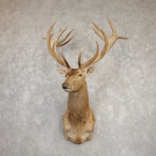 Red Stag Shoulder Mount For Sale #20295 @ The Taxidermy Store