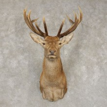 Red Stag Shoulder Mount For Sale #21415 @ The Taxidermy Store