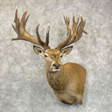 Red Stag Shoulder Mount For Sale #24985 @ The Taxidermy Store