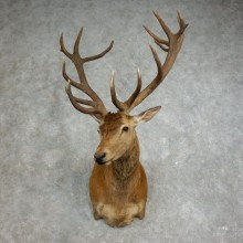 Red Stag Shoulder Mount For Sale #17652 @ The Taxidermy Store