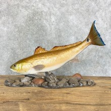 Redfish Taxidermy Fish Mount #22323 For Sale - The Taxidermy Store