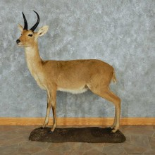 African Reedbuck Standing Life-Size Mount #13473 For Sale @ The Taxidermy Store