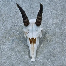 Reedbuck Skull & Horns European Mount For Sale #15457 @ The Taxidermy Store