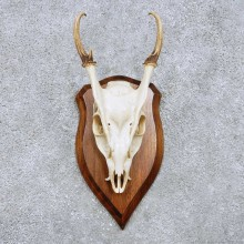 Reeves Muntjac Skull Horn European Mount For Sale #14450 @ The Taxidermy Store