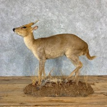Reeves Muntjac Life-size Taxidermy Mount For Sale #23219 @ The Taxidermy Store