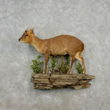 Reeve's Muntjac Life-size Taxidermy Mount For Sale