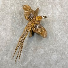 Reeves Pheasant Taxidermy Bird Mount For Sale
