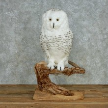 Reproduction Snowy Owl Mount #13551 For Sale @ The Taxidermy Store