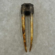 Walrus Replica Skull & Tusks Mount For Sale #16948 @ The Taxidermy Store