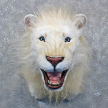 Reproduction White Lion Shoulder Mount #12003 For Sale @ The Taxidermy Store