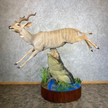 Nile Crocodile Attacking Lesser Kudu Taxidermy Mount For Sale