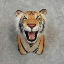 Reproduction Bengal Tiger Shoulder Mount For Sale #17173 @ The Taxidermy Store