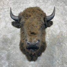 Reproduction Bison Shoulder Mount #24412 For Sale - The Taxidermy Store