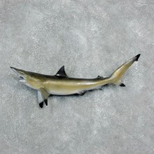 Reproduction Blacktip shark-The Taxidermy Store-17948