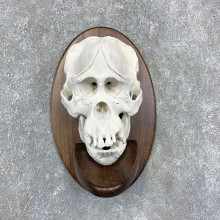 Reproduction Borneo Orangutan Skull Mount For Sale #21590 @ The Taxidermy Store