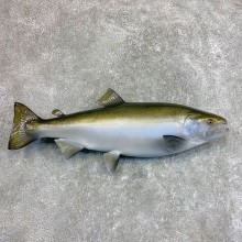 Reproduction Coho Salmon Fish Mount For Sale #22043 @ The Taxidermy Store