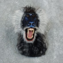 Reproduction Drill Baboon Mount For Sale #18306 @ The Taxidermy Store