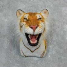 Golden Bengal Tiger Taxidermy Shoulder Mount #18304 For Sale @ The Taxidermy Store