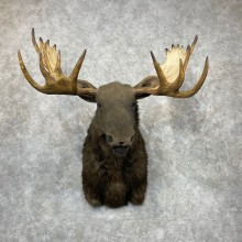 Reproduction Moose Shoulder Mount #24413 For Sale - The Taxidermy Store