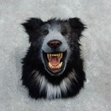 Reproduction Sloth Bear Taxidermy Shoulder Mount #18298 For Sale @ The Taxidermy Store